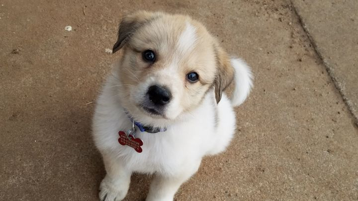 Porsche (Avail February 17), an adopted Great Pyrenees in Kiowa, OK