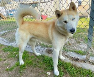 Available for Adoption Copperfield 43276 is your typical husky Loud Clever And sweet He was pi