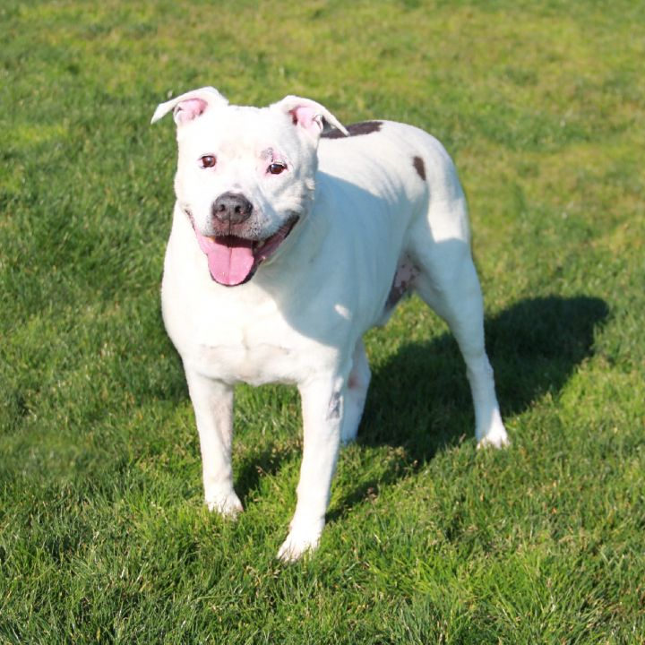 Rico, an adoptable Pit Bull Terrier Mix in Clovis, CA