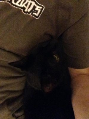 Millie Domestic Short Hair Cat