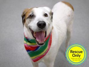 Meet Pringle 5-years-old 60 pounds Pringle was surrendered to Animal care Center he had a spat w