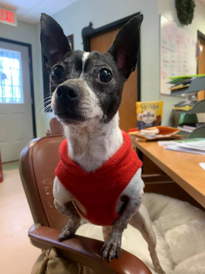 Cooper, an adoptable Chihuahua Mix in Walden, NY