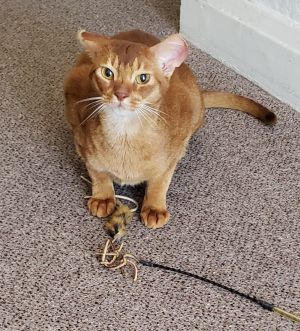 Matteo is a 3-4 yr red abyssinian looking for his new home He is full of play spunk affection and