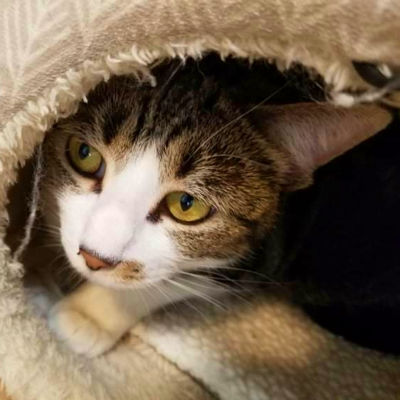 Elmyra Cat Cat For Adoption Elmyra A Domestic Short Hair In Lincoln Il Petfinder petfinder