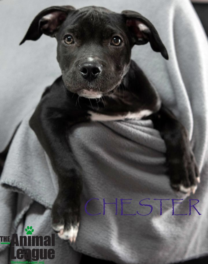 Chester, an adopted American Staffordshire Terrier Mix in Clermont, FL