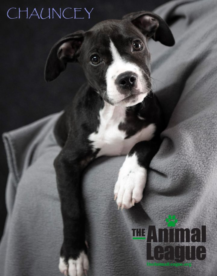 Chauncey, an adoptable American Staffordshire Terrier Mix in Clermont, FL