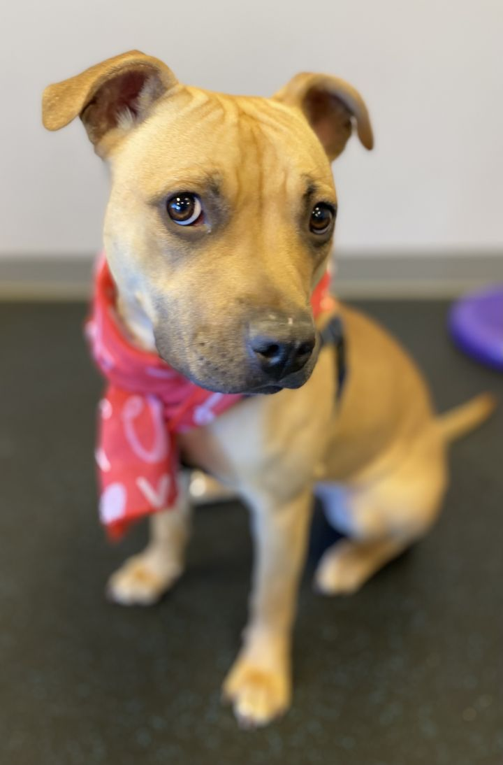 Sage, an adoptable Staffordshire Bull Terrier Mix in Northville, MI_image-2