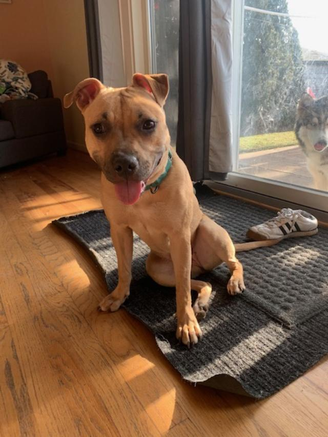 Sage, an adoptable Staffordshire Bull Terrier Mix in Northville, MI_image-1