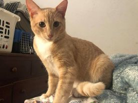 Redd, an adopted Domestic Short Hair in Tracy, CA