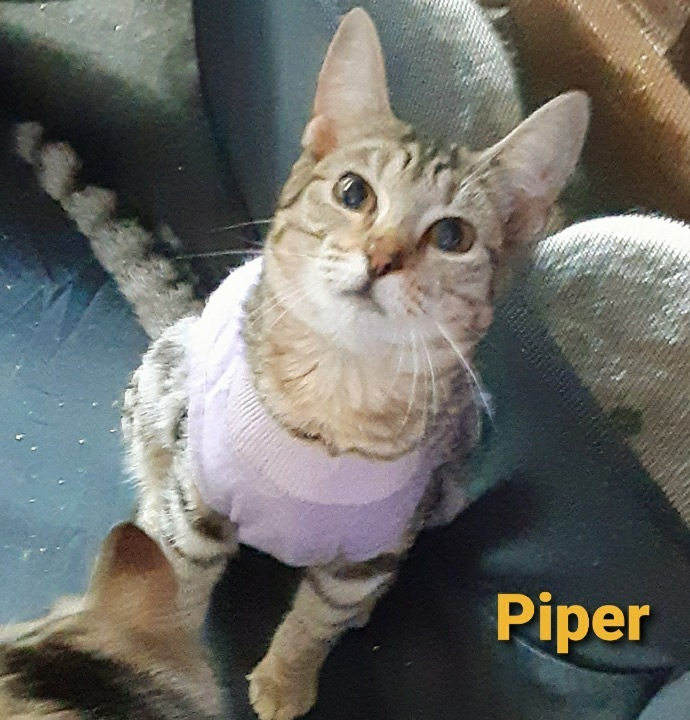 Piper, an adoptable Tabby & Domestic Short Hair Mix in Miami, FL