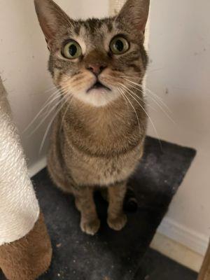 Carol Brady Domestic Short Hair Cat