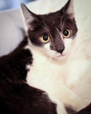 Bobby Domestic Short Hair Cat