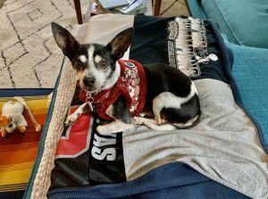 Cuca Chihuahua Dog