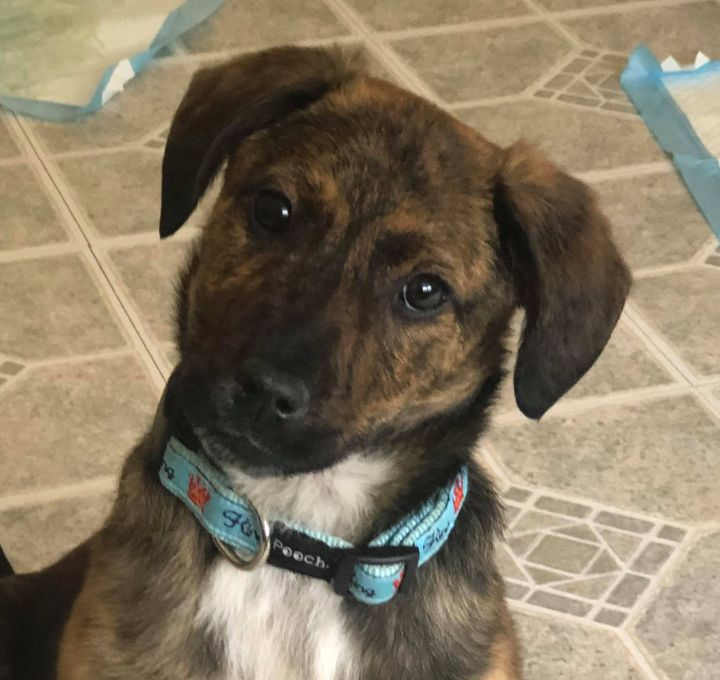 Cupid, an adopted Mountain Cur & Terrier Mix in Cumming, GA