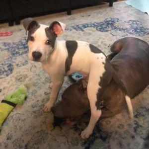Nubs Pit Bull Terrier Dog