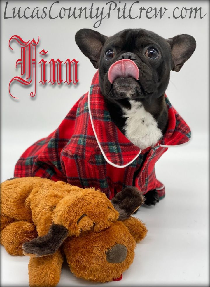 Finn, an adopted French Bulldog in Toledo, OH