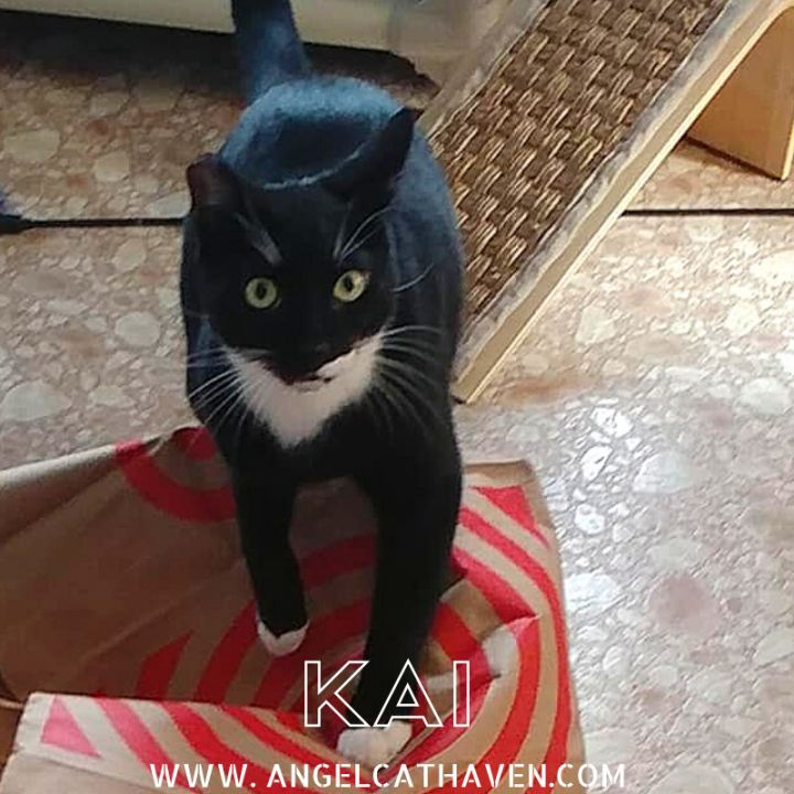 Kai, an adoptable Domestic Short Hair in Plainville, MA