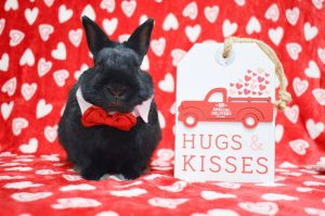 MIDNIGHT IS A YOUNG MALE BUNNY HE WAS FOUND AFTER GETTING HIT BY A CAR THAT INJURED HIS LEG HE