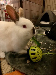 RASCAL IS A YOUNG MALE BUNNY HE IS SCHEDULED TO BE NEUTERED AND VACCINATED AGAINST RHVD2 AT THE END
