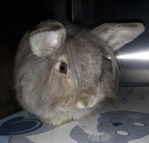 FABIO IS A MALE LIONHEAD BUNNY HE IS VERY SWEET FABIO WILL BE AVAILABLE FOR ADOPTION THE END OF FE