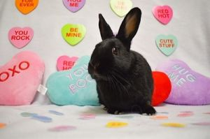 COCOA IS A DARLING DWARF FEMALE BUNNY SHE IS SPAYED AND VACCINATED AGAINST RHVD2 COCOA IS A SWEET