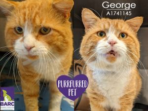 After living outdoors George is ready for a cushy indoor home This sweet gentleman is very friendl
