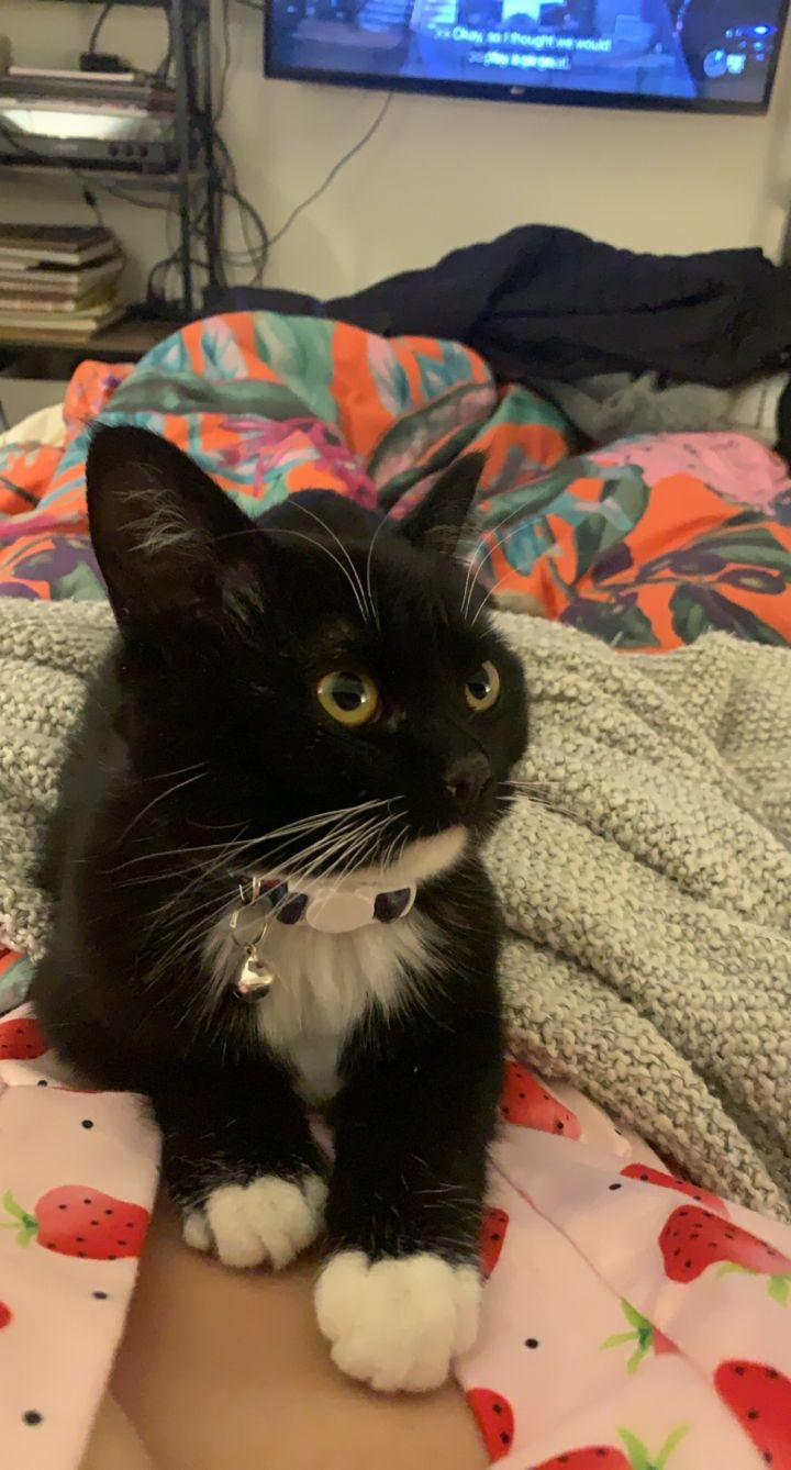 Nera, an adopted Domestic Short Hair & Bombay Mix in Minneapolis, MN