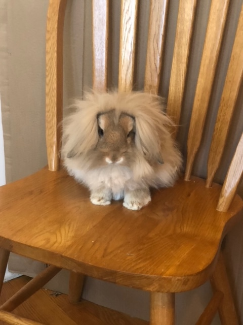 Patrick, an adopted Lop Eared & Lionhead Mix in Naperville, IL