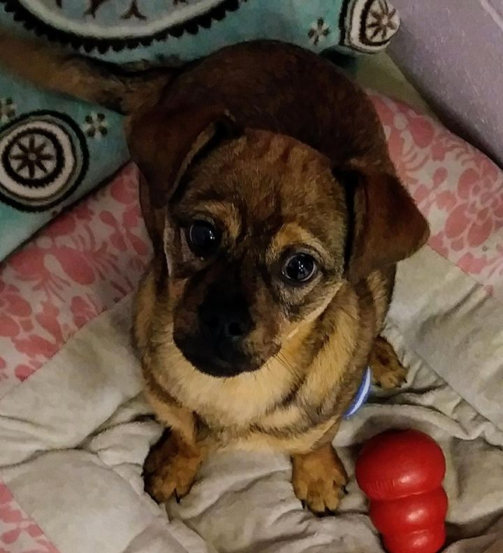 Skippy, an adoptable Puggle & Terrier Mix in Hoffman Estates, IL