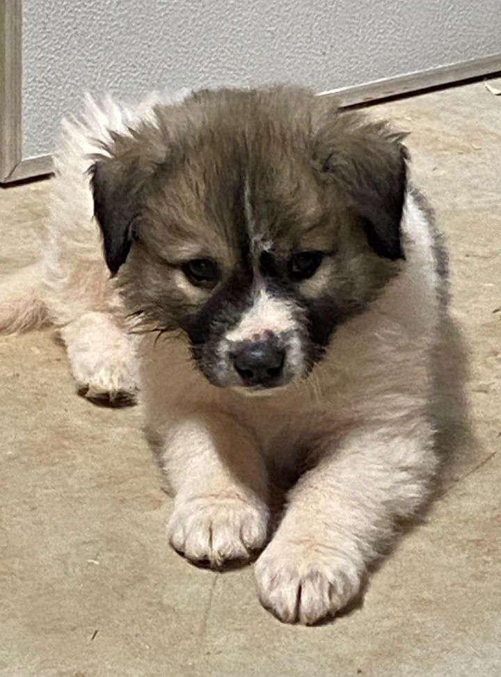 Adidas (Avail February 18), an adopted Great Pyrenees in Kiowa, OK