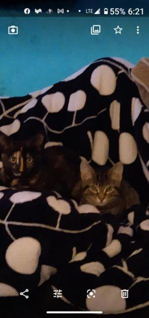 Tiger and Marmalade Domestic Short Hair Cat