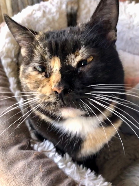 Salsa, an adoptable Torbie & Tortoiseshell Mix in Mission Viejo, CA_image-3