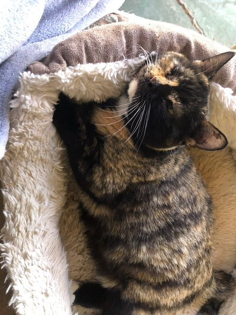 Salsa, an adoptable Torbie & Tortoiseshell Mix in Mission Viejo, CA_image-4