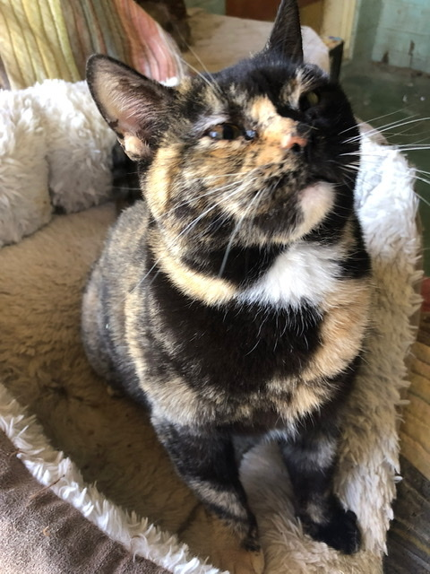 Salsa, an adoptable Torbie & Tortoiseshell Mix in Mission Viejo, CA_image-6