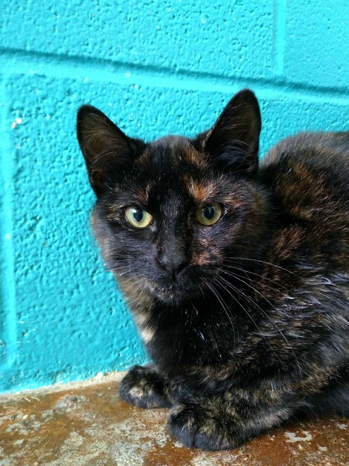 Saffron, an adopted Domestic Short Hair Mix in Carencro, LA
