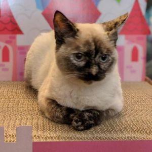 Belle Domestic Short Hair Cat