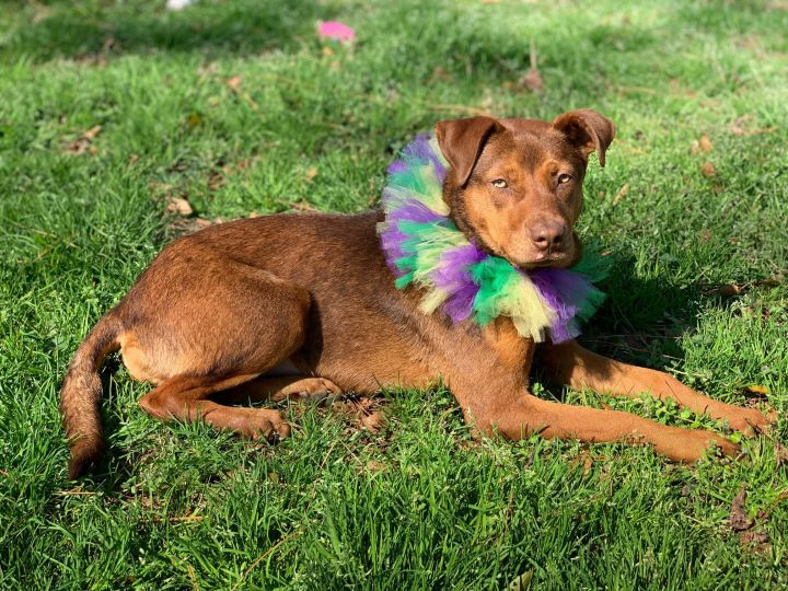 Siena, an adopted Shepherd Mix in Medfield, MA