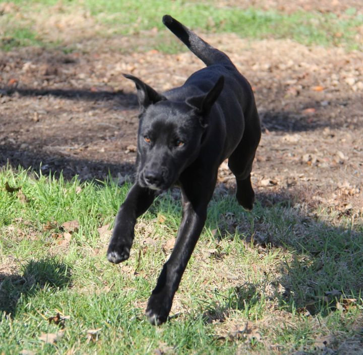Kristy, an adopted Labrador Retriever Mix in Dublin, CA