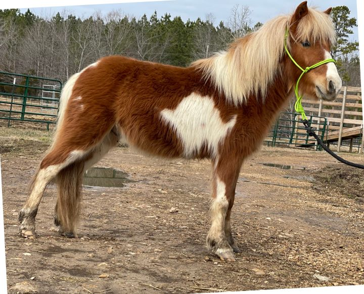 Casper, an adoptable Miniature Horse in Hohenwald , TN