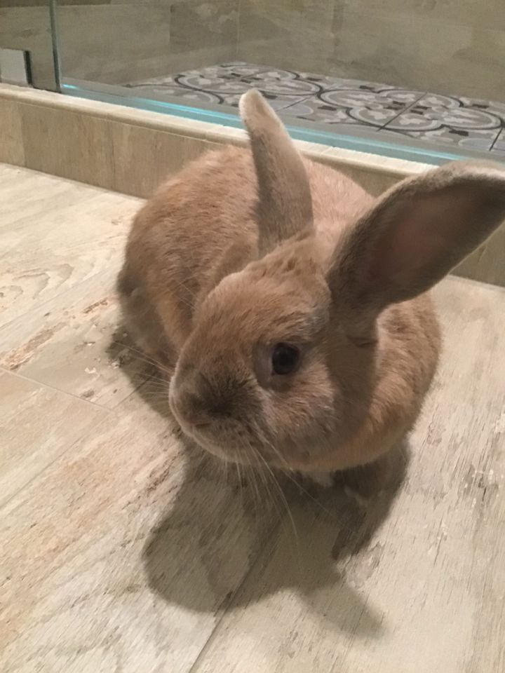 Ron, an adopted Bunny Rabbit in Livermore, CA