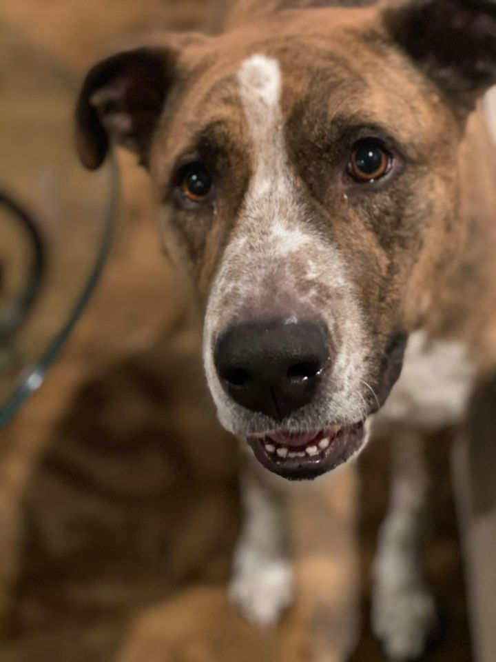 Brutus, an adoptable Pit Bull Terrier Mix in Eagle, ID