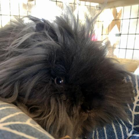 Lancelot, an adoptable Lionhead in Rock Hall, MD