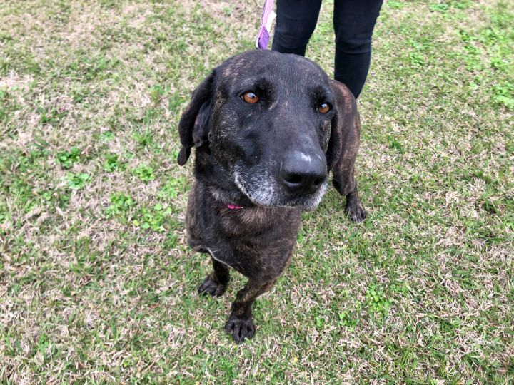 Spade, an adoptable Labrador Retriever & Catahoula Leopard Dog Mix in Carencro, LA