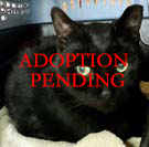 Pancho, an adopted Domestic Short Hair in Merrifield, VA_image-1