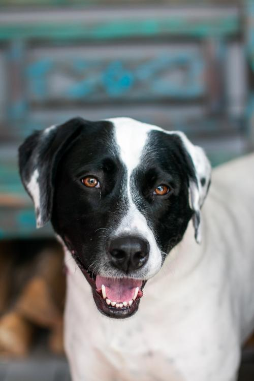 Ghost Rider, an adoptable Pit Bull Terrier & Pointer Mix in Alpharetta, GA