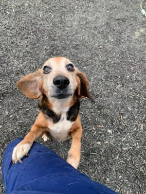 You can fill out an adoption application online on our official websiteElaine SC is a female Beag