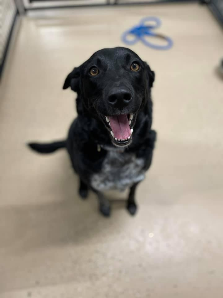 Baby, an adopted Australian Cattle Dog / Blue Heeler & Labrador Retriever Mix in Cedar Rapids, IA