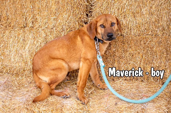Maverick, an adopted Labrador Retriever & Shepherd Mix in Omaha, NE