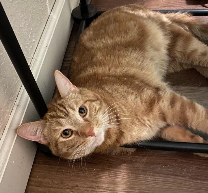 Mr. Bean A-577, an adopted Domestic Short Hair & Tabby Mix in Eaton Rapids, MI
