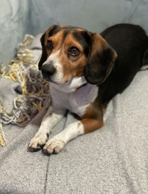 SMUCKERS Beagle Mix 2 years old 22lbs Neutered Male Needs Home in Suburbs Smuckers is handsome